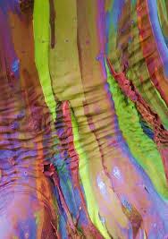 eucalyptus deglupta_05.jpg
