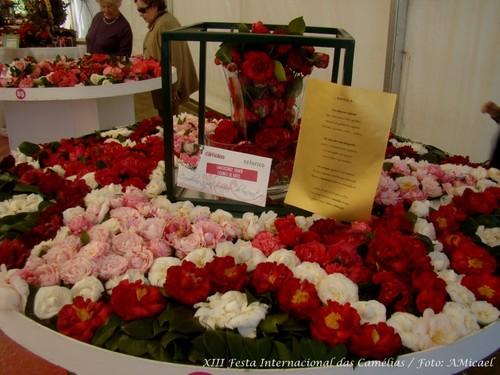 2 - XIII Festa Internacional das Camélias - Celor