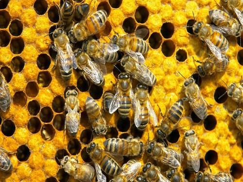 Apicultura_abelhas