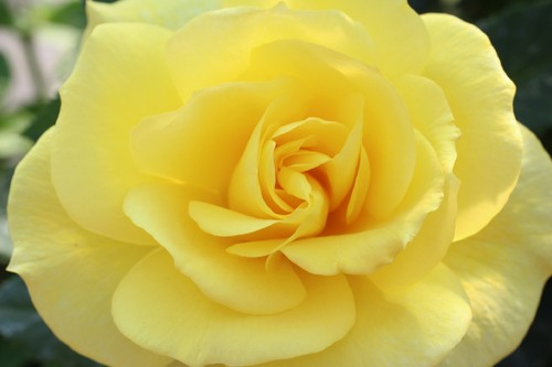 YellowRoseFlower-KevinCasper.jpg