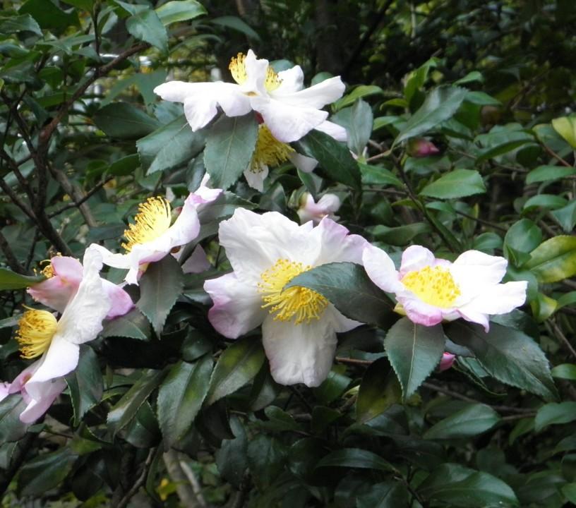 Camellia_sinensis_(flowers).JPG