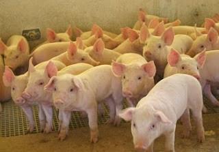porco1.jpg