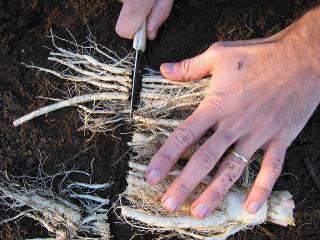 endive-racines-taille.jpg