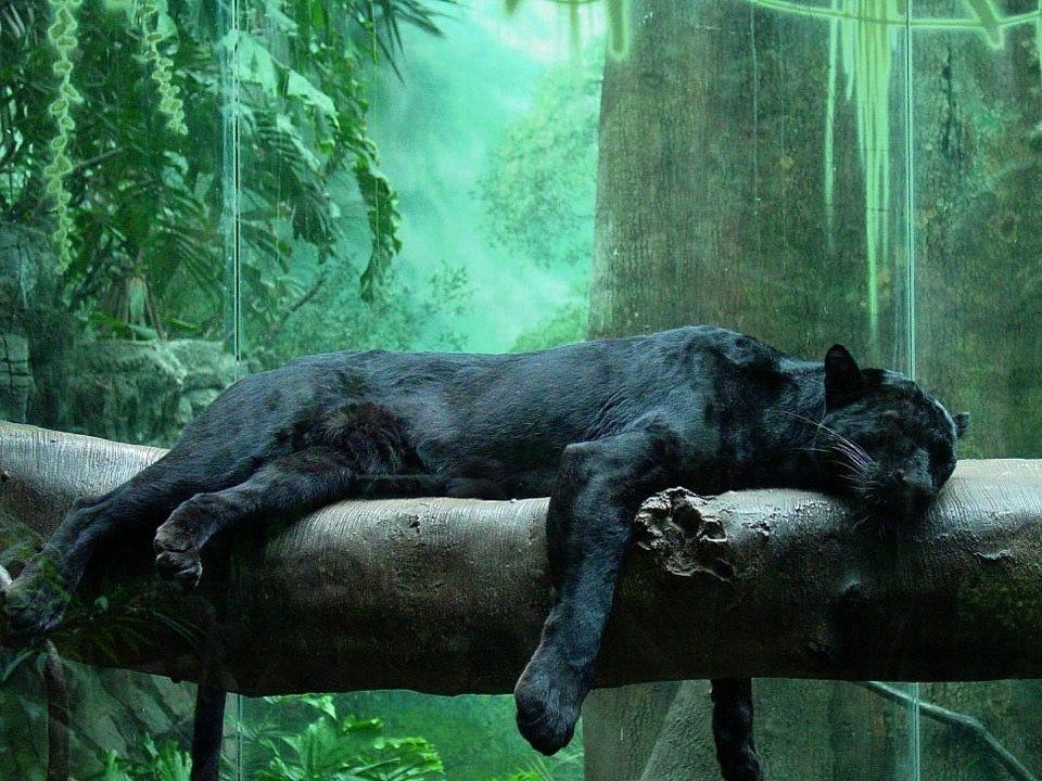 Pantera negra.jpg