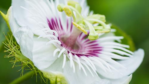 flor-de-maracuja-300x225[1].jpg