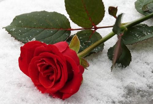 rosa-vermelha-brilhante-na-neve-no-inverno-1358589