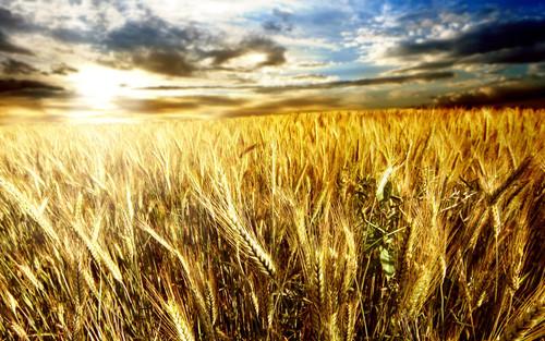 345486__golden-wheat-field_p.jpg
