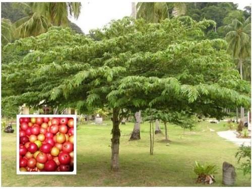 muntingia-calabura-plants-500x500.jpg