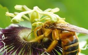 flor de maracuja2.jpg