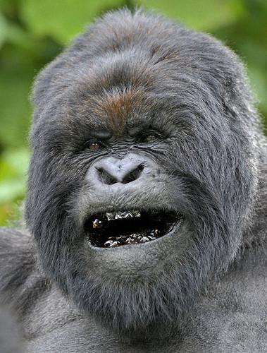Gorilas: Vida à margem