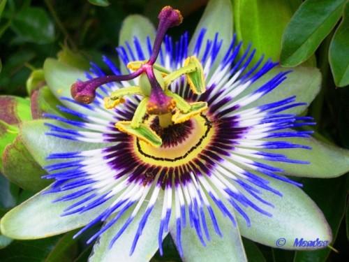 Cerva - A Beleza das Flores - Flor da Paixão.jpg