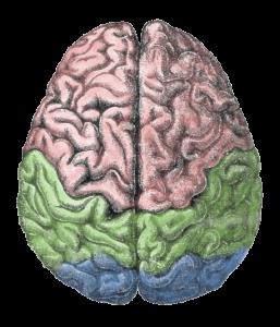 Cerebro-meu-257x300.png