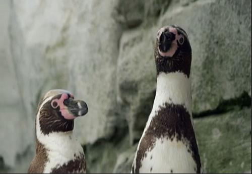 Casal gay de pinguins humboldt.png