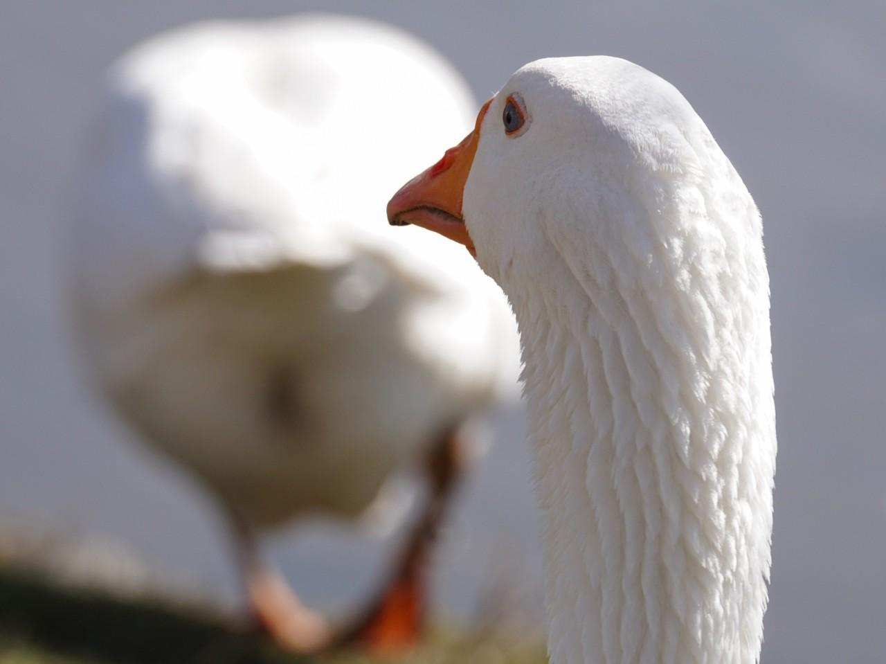 goose-3265356_1920.jpg