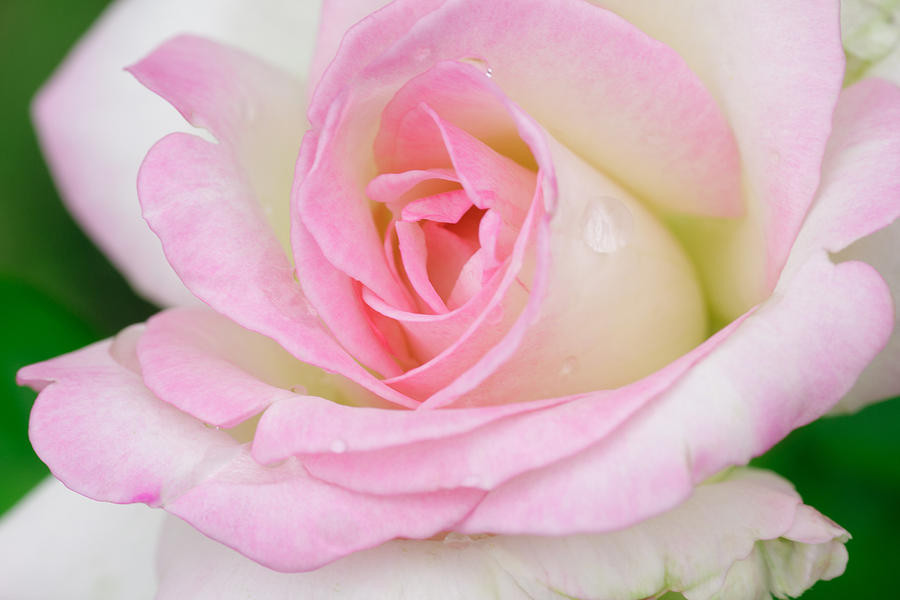 Pink-Rose-27.jpg