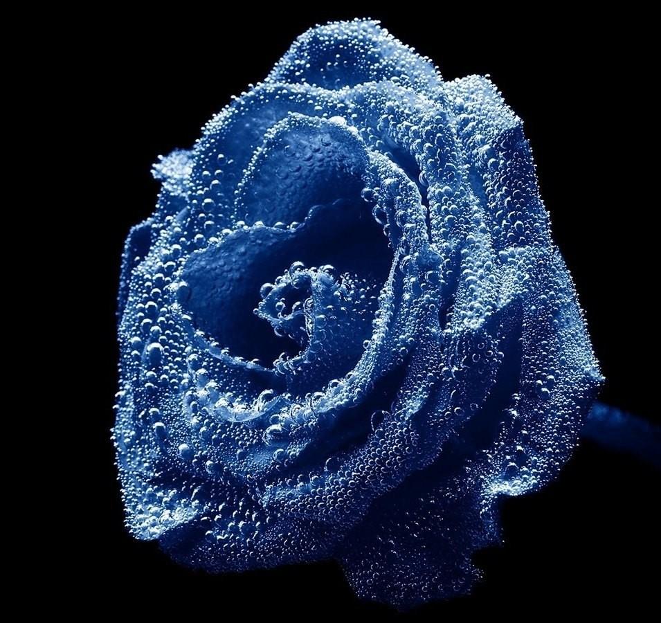 rosas-azuis-2.jpg
