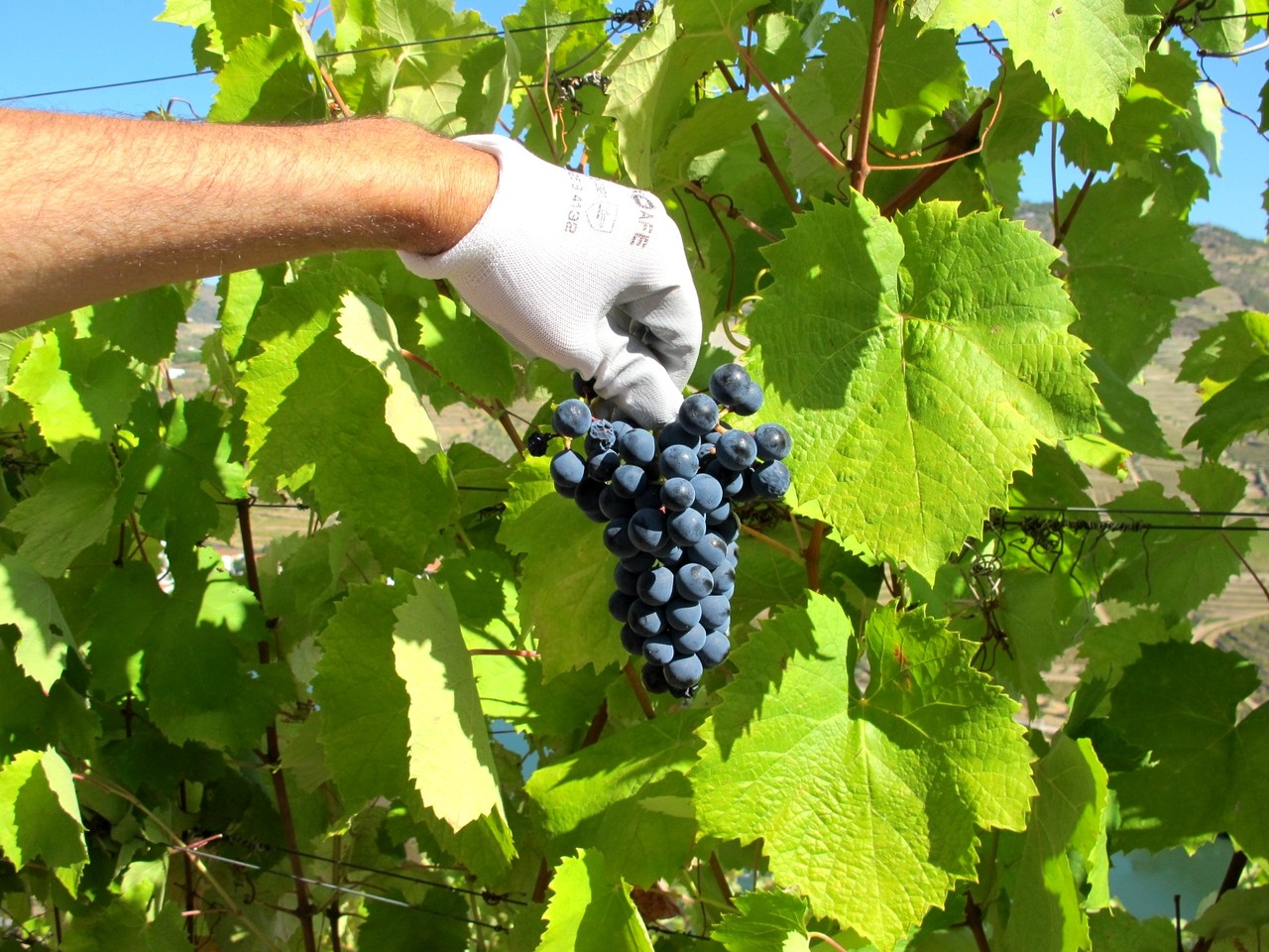A apanha da uva
