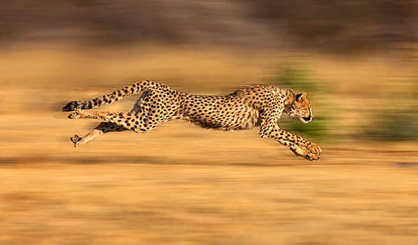 cheetah-running.jpg