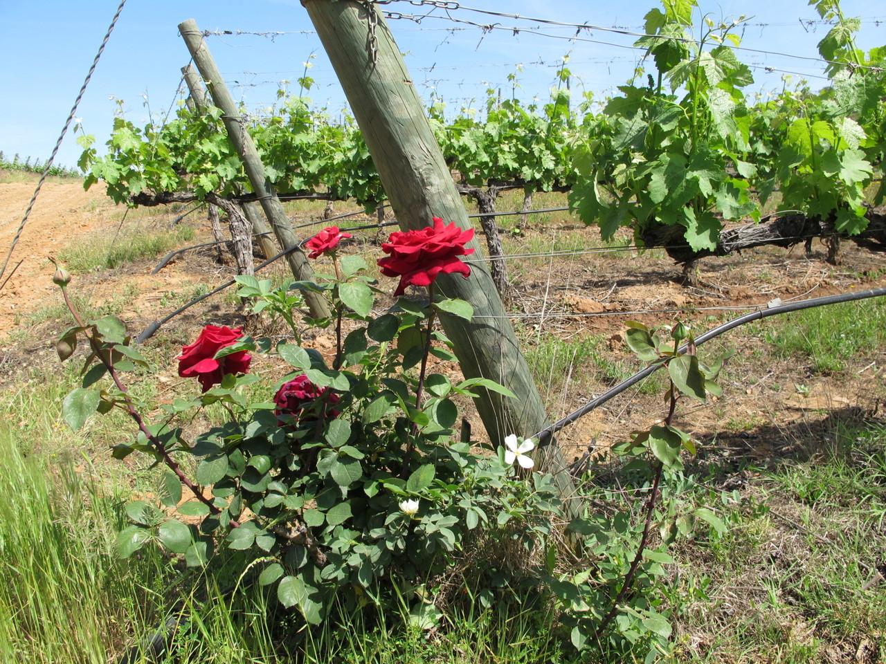 roseiras... nas vinhas