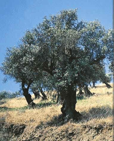 oliveira1.jpg