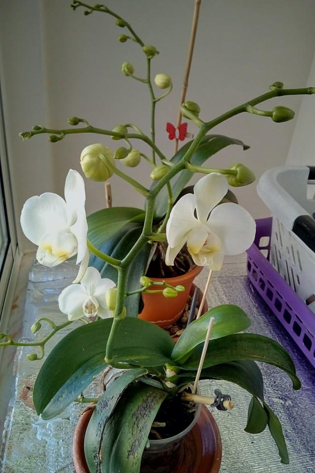 Orchidea pequena 3-0 Orchidea grande — © 2021