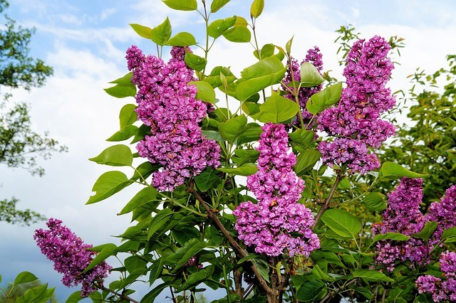 lilac-339785_640.jpg