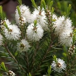 malaleuca alternifolia.jpg