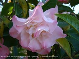 4 - C Japónica Ballet Dancer - 768.jpg