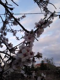 Foto1929. ramo em floração. Foto de DAPL jpg