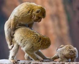 copula entre macacos