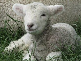 ovelha.jpg
