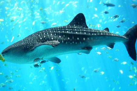 Tubarão-baleia  .jpg