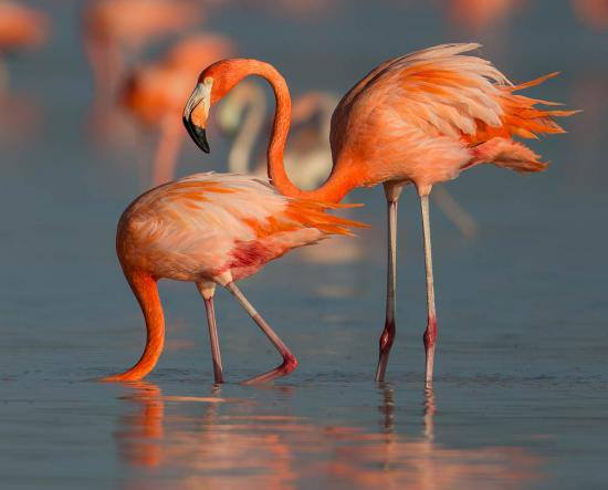 Flamingos no Lobito