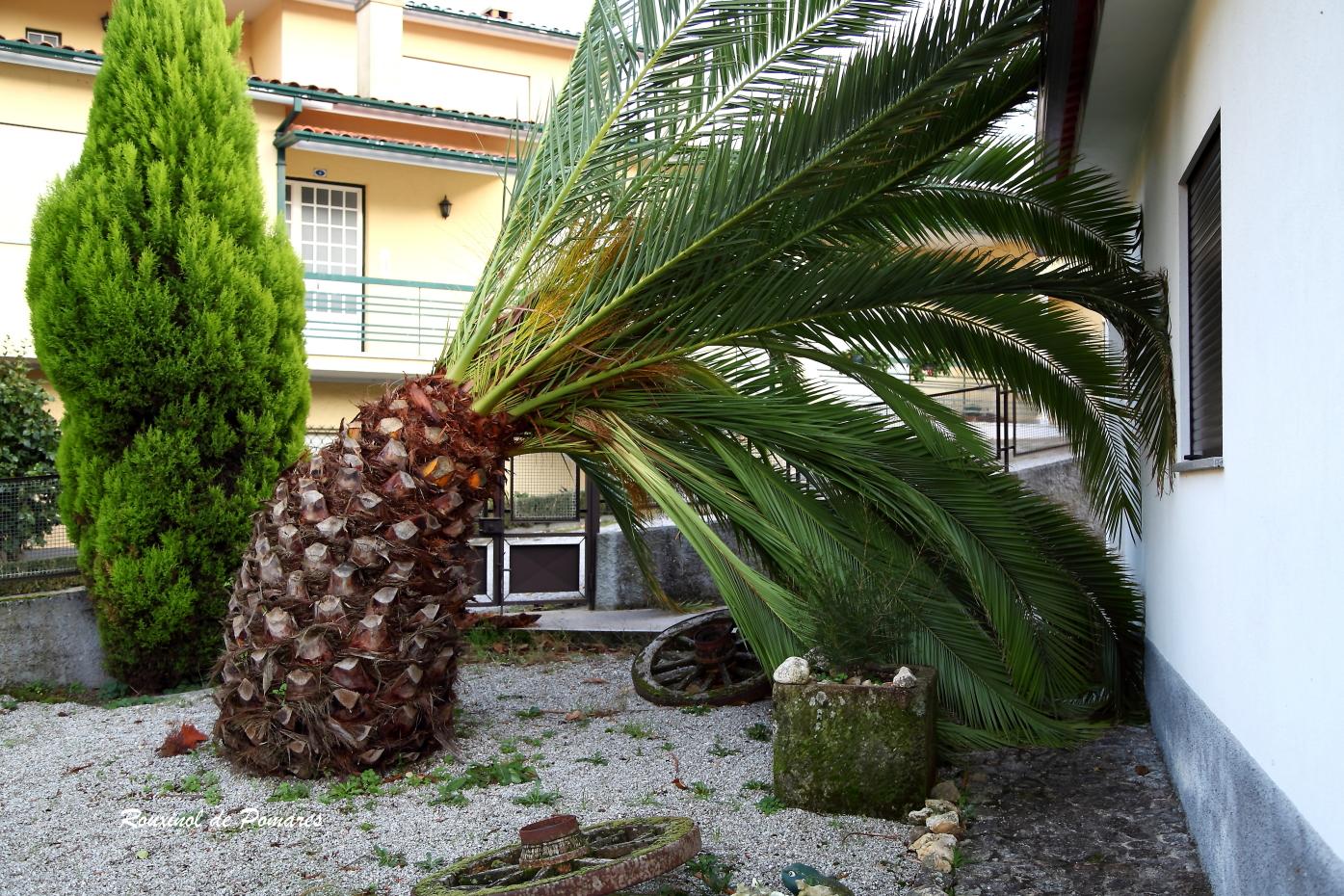 A Morte de Uma Palmeira (2)