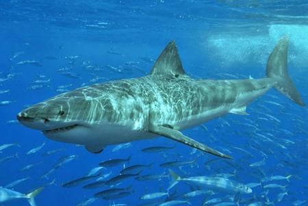 Tubarão-branco .jpg