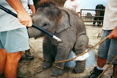 vegetarianismo circo com animais[1].jpg