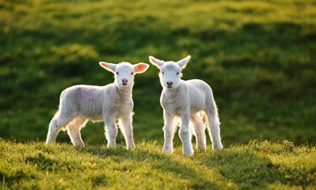 Lambs-001