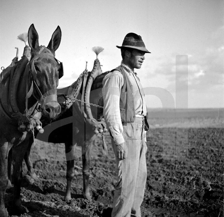 Lavrador com juncta de mulas, Alem Tejo, 19... Arthur Pastor, in Archivo Photographico da C.M.L.